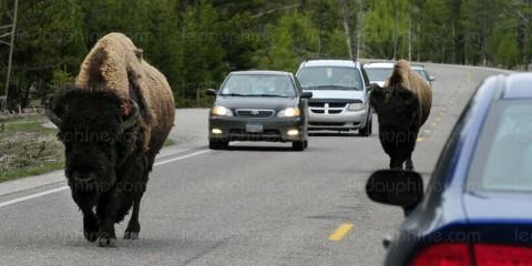 Bisons en fuite