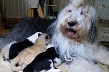 Une chienne adopte un lionceau en Pologne