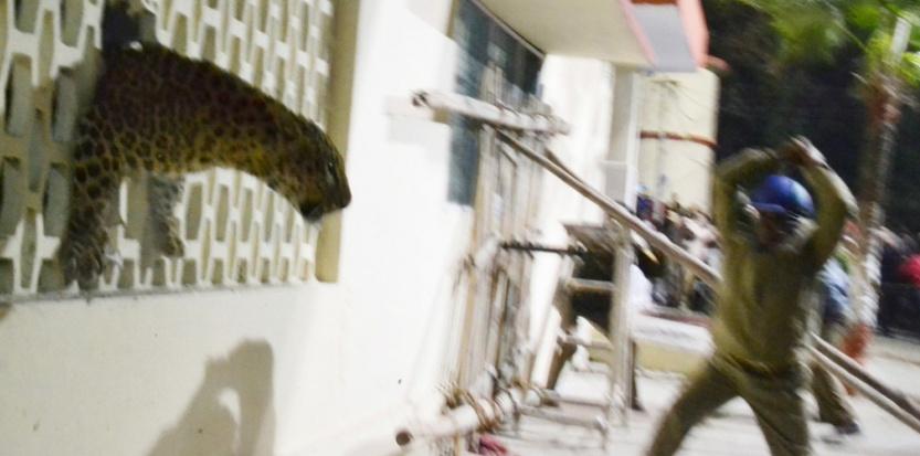 un léopard circule dans une zone habitée en Indeun léopard circule dans une zone habitée en Inde