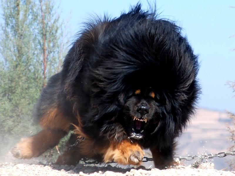 Le mastiff du Tibet