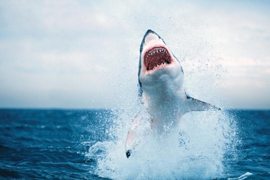 un requin blanc s'envole