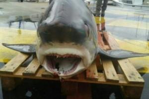 un pêcheur pêche un requin renard
