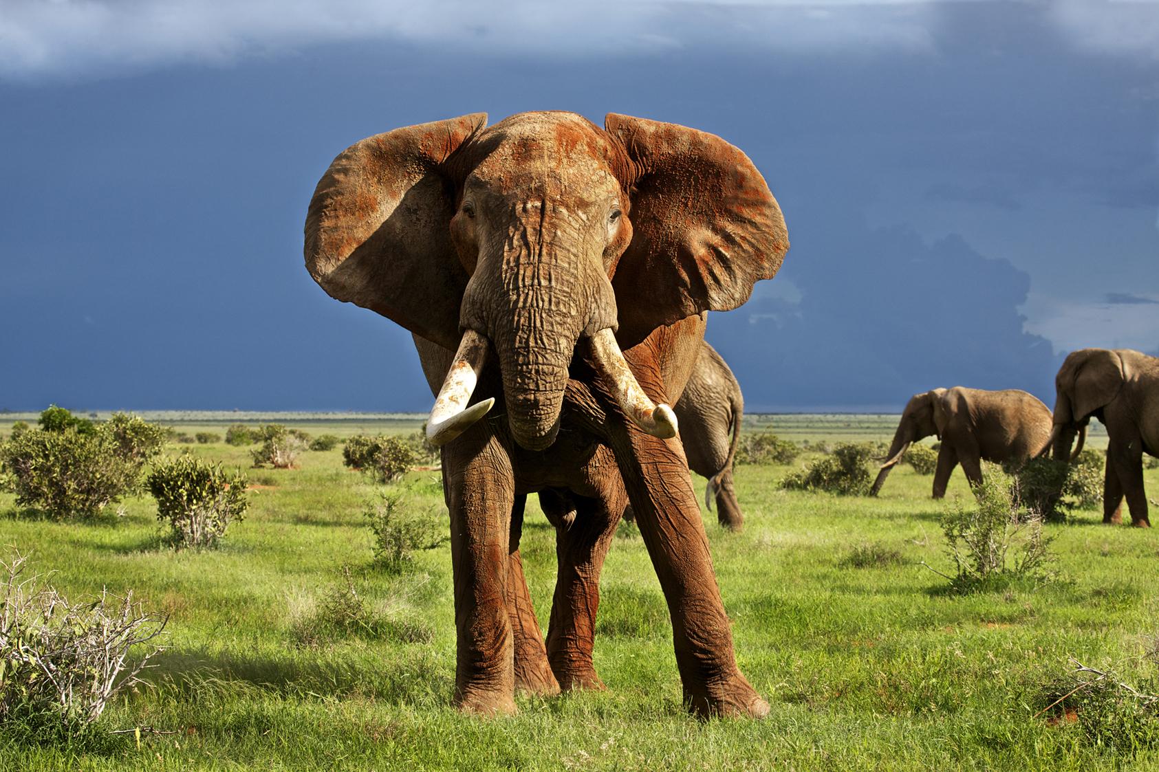 Un des plus grands éléphants (45 ans) en Afrique tué par des braconniers