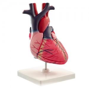 Pour faire avancer la recherche des chercheurs cultivent des minis coeurs