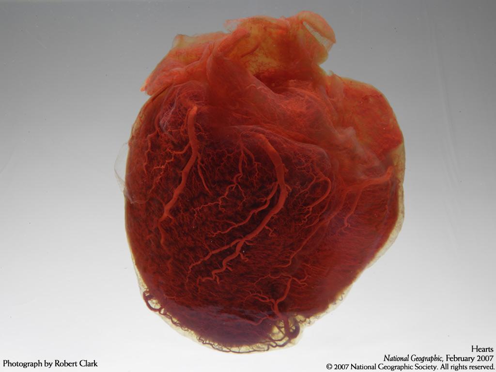 des cœurs miniatures sont cultivés en laboratoire