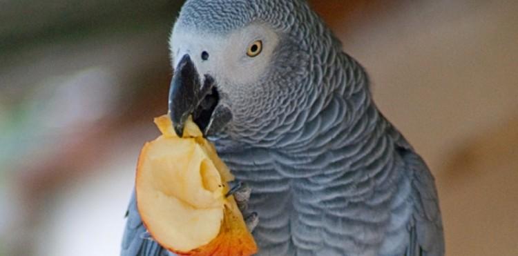 Perroquet Nigel