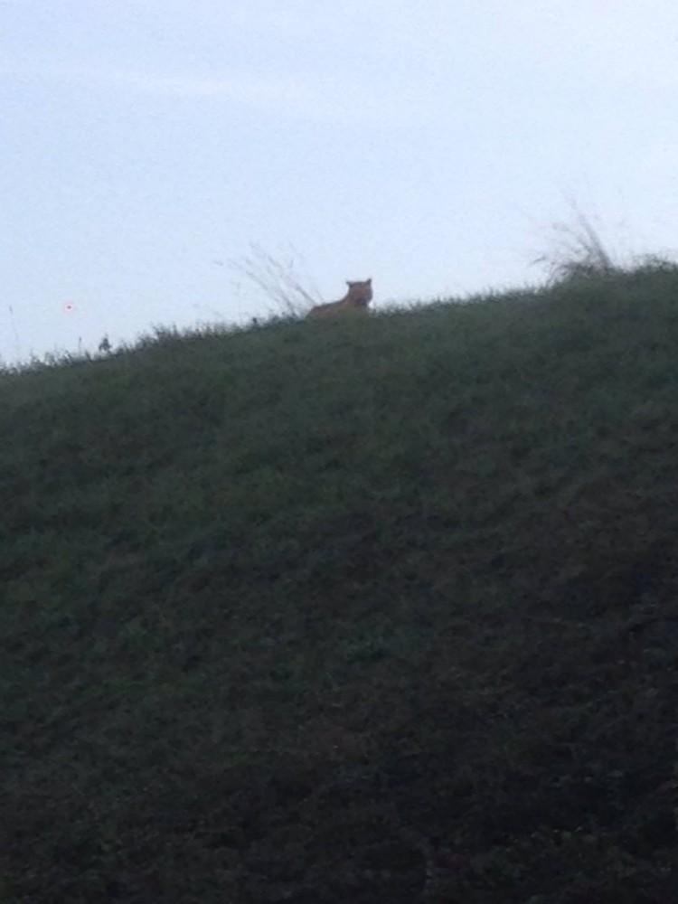 L'animal aperçu à Paris n'est pas un tigre mais un autre