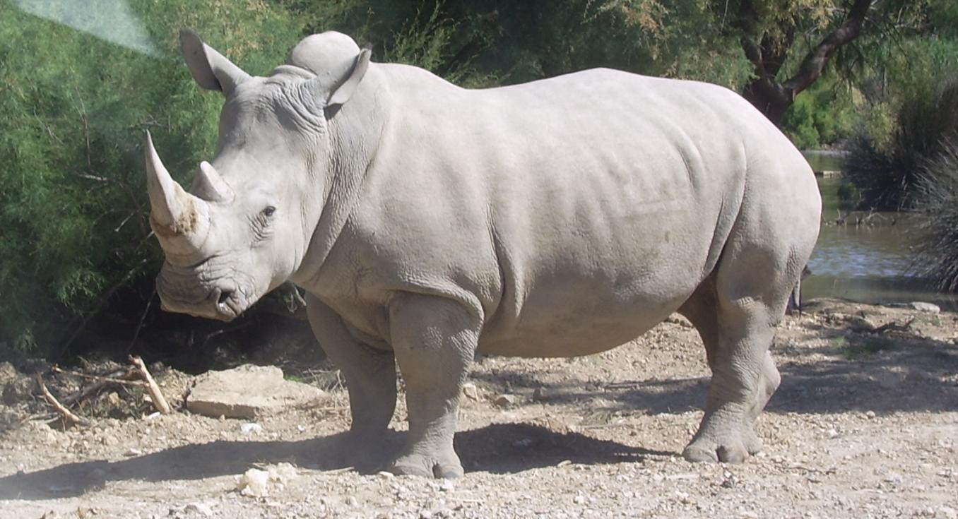 Il ne reste qu'un nombre bien limité de rhinocéros blanc