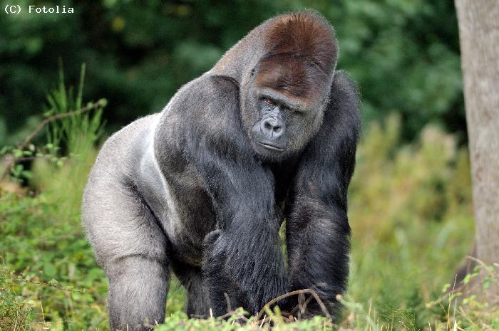 Les gorilles du sud-ouest du Cameroun à l'origine du VIH