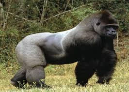 Le gorille du sud-ouest du Cameroun à l'origine de Sida