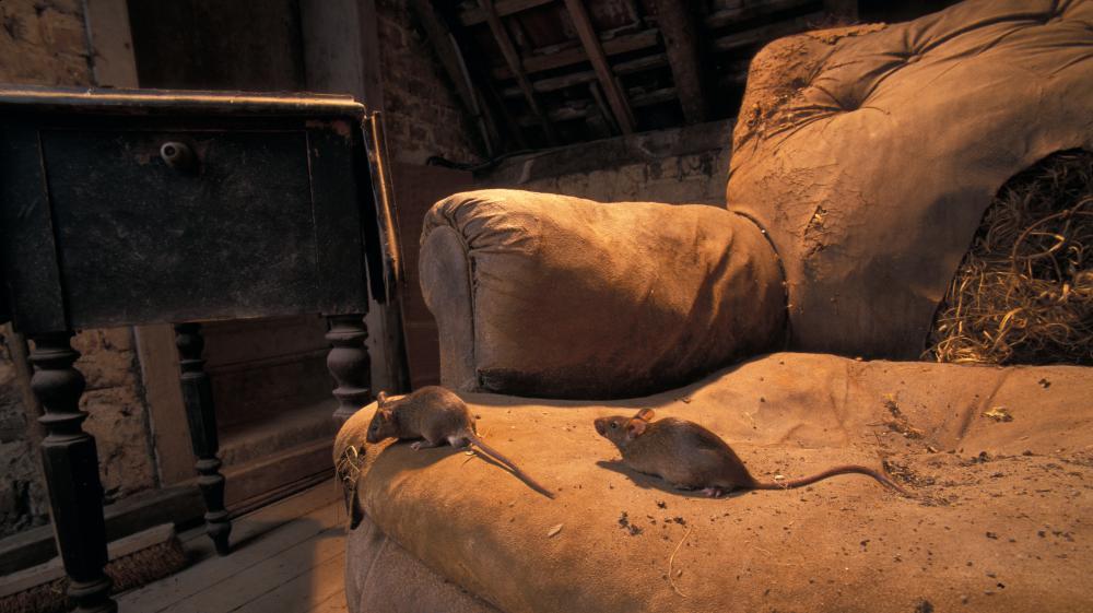Plus d'un millier de souris saisies dans une résidence au Canada