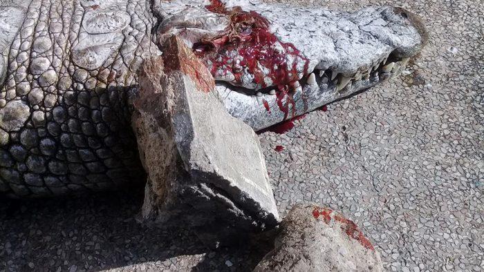 Tunis: Un crocodile tué à coups de pierres