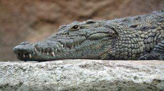 Un crocodile sauvagement tué par coups de pierres